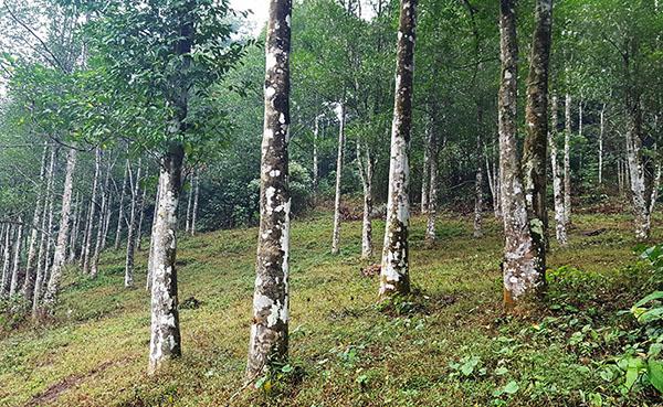 trầm hương rừng núi